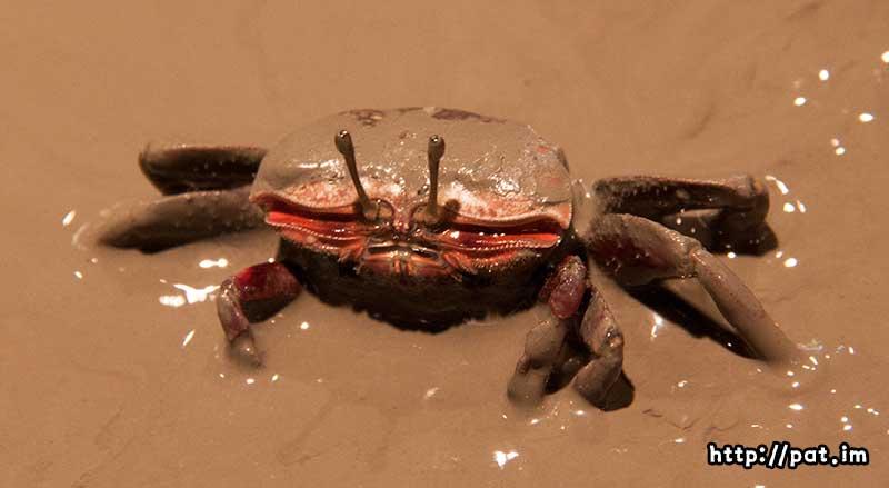 칠게 (Macrophthalmus japonicus)