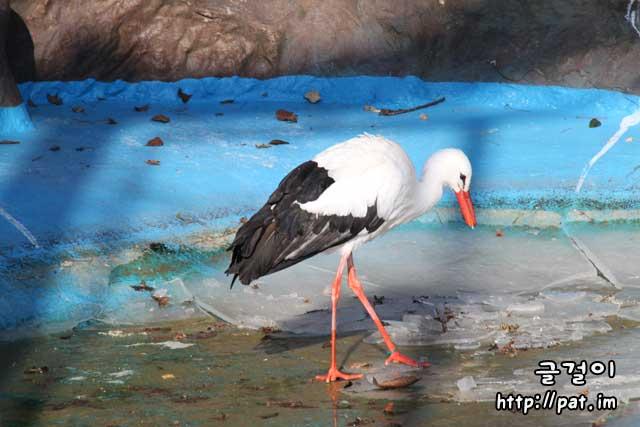 홍부리황새 (유럽황새, European white stork)