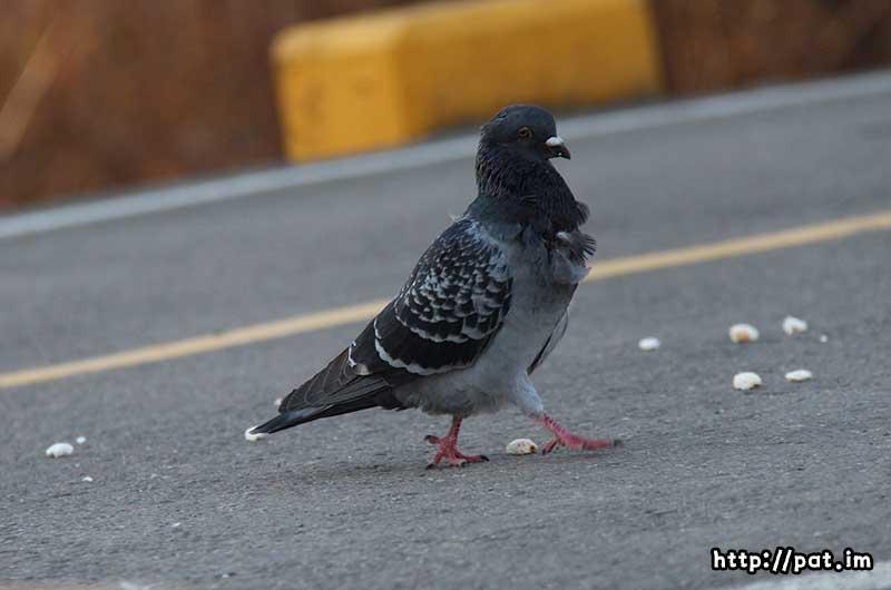 비둘기 (pigeon)