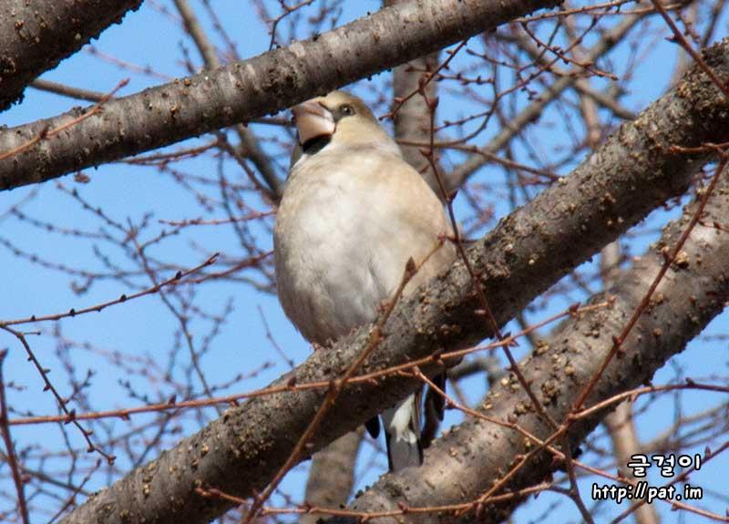콩새 (hawfinch)