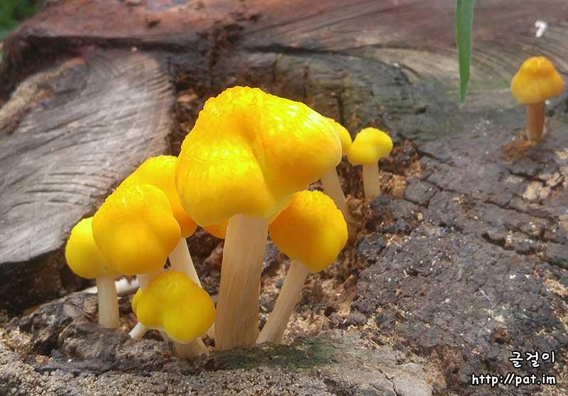 그루터기에 핀 노란 버섯 ③